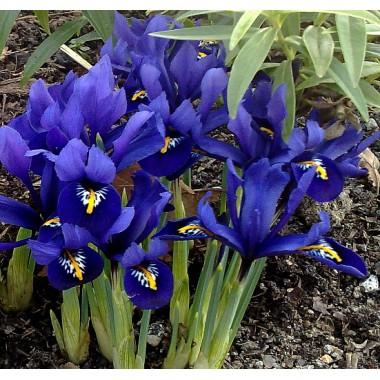 Ирис ранневесенний  Reticulata (7 луковиц) описание, отзывы, характеристики