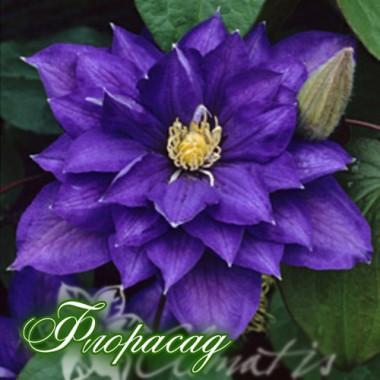 Клематис Beauts of  Worchester (дворічна рослина в контейнері) опис, характеристики, відгуки