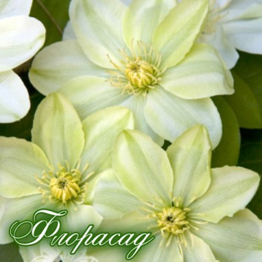 Клематис Guernsey Cream (дворічна рослина в контейнері) опис, характеристики, відгуки