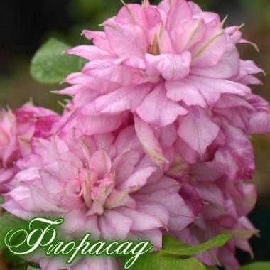 Клематис Innocent Glance (дворічна рослина в контейнері) опис, характеристики, відгуки