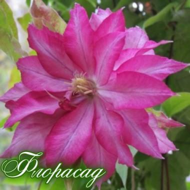 Клематис Kaen (дворічна рослина в контейнері) опис, характеристики, відгуки