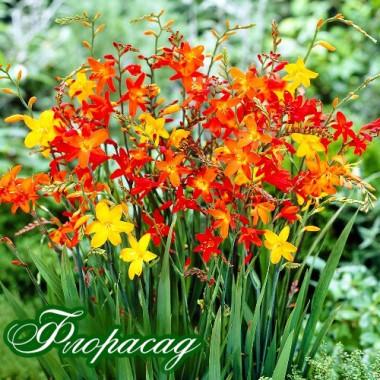 Крокосмия Large Flowering смесь (5 луковиц) описание, отзывы, характеристики