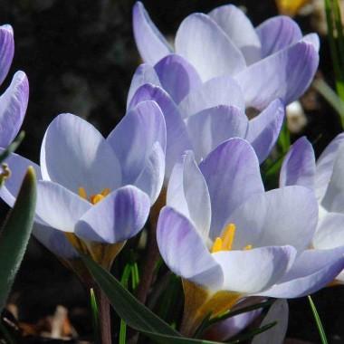 Крокус ранньовесняний chrysanthus Blue Pearl (8 цибулин) опис, характеристики, відгуки