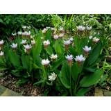 Куркума Zedoaria White Wonder (1 луковица) описание, отзывы, характеристики