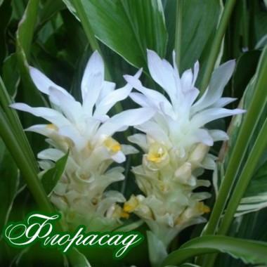 Куркума Zedoaria White Wonder (1 цибулина) опис, характеристики, відгуки