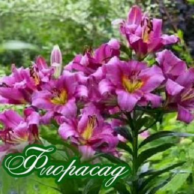 Лилия О.Т. гибрид Purple Lady (1 луков.) описание, отзывы, характеристики