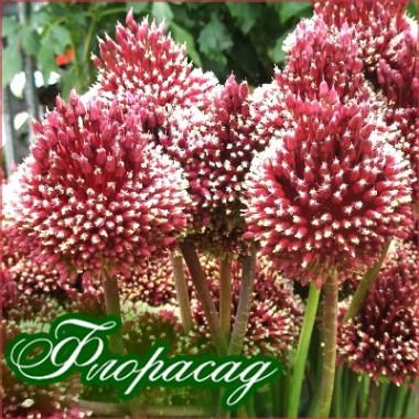 Лук декоративный Red Mohican (1 луковица) описание, отзывы, характеристики