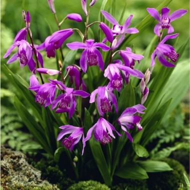 Орхидея Bletilla striata (1 растение) описание, отзывы, характеристики