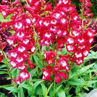 Пенстемон Сенсація (1 рослина) опис, характеристики, відгуки