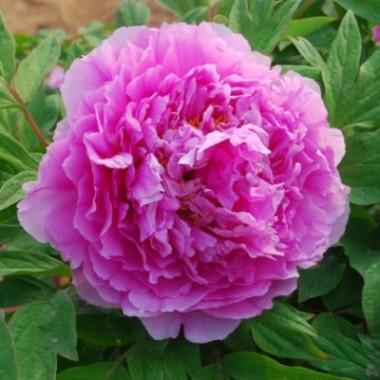 Пион древовидный Цветочная роса (Ling hua zhan lu) описание, отзывы, характеристики