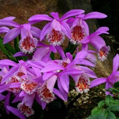 Орхидея Pleione Formosana (1 растение) описание, отзывы, характеристики